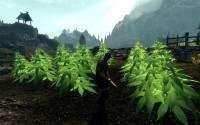 Skyrim — марихуана вместо капусты