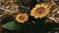 skyrim-hd-retekstur-cvetov