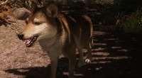 Skyrim — Улучшенные волки (+новый спутник) | Skyrim моды